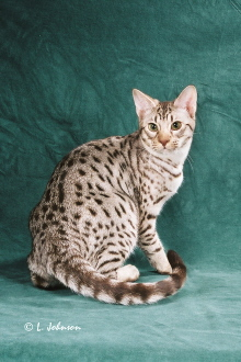 Chipp, a GC chocolate silver Ocicat